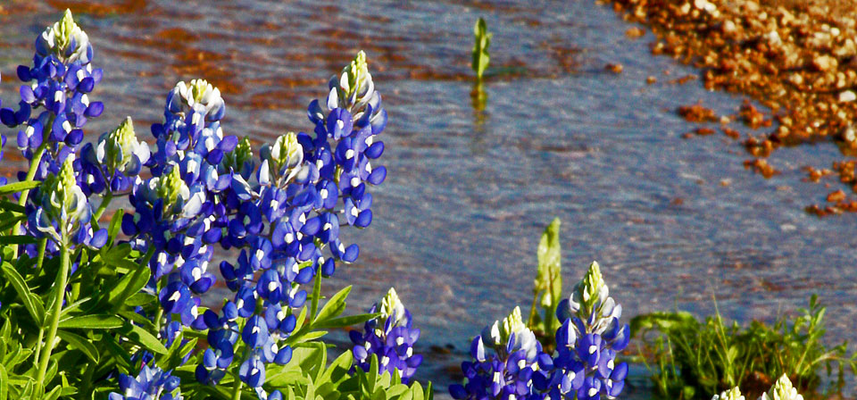 The Bluebonnet, Texas' state flower, growing on the hillside near Shady Oaks